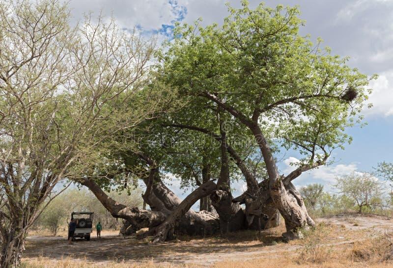 Árvore quebrada velha do baobab entre Tsumkwe e o parque nacional de Khaudum em Namíbia do norte foto de stock