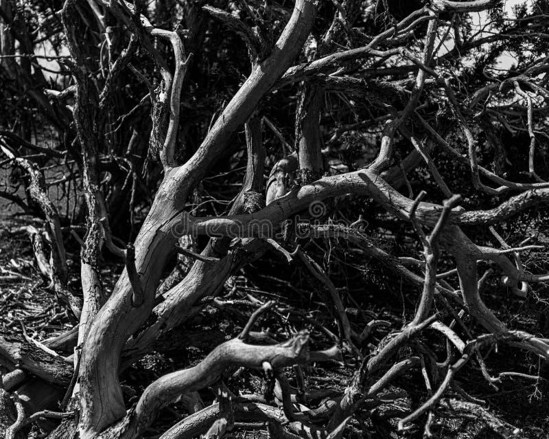 Árvore queimada inoperante sobre a borda vermelha da garganta imagem de stock