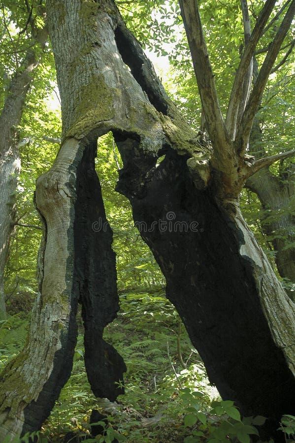 Árvore queimada pelo relâmpago fotografia de stock