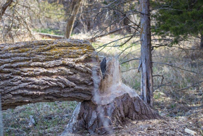 A árvore reduziu pelo castor pelo rio Nebraska da placa imagem de stock