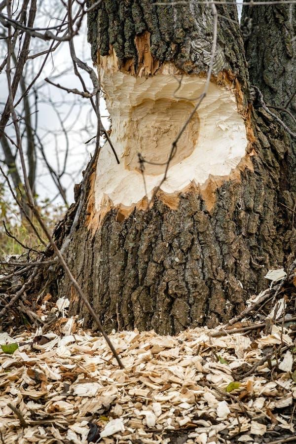 Árvore rmoída por um castor fotografia de stock royalty free