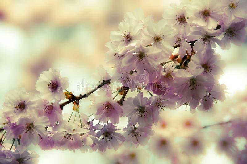 Árvore romântica da mola da árvore de cereja selvagem ou da árvore de maçã na florescência imagens de stock