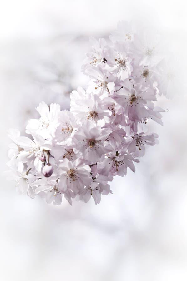 Árvore romântica da mola da árvore de cereja selvagem ou da árvore de maçã na florescência imagens de stock royalty free