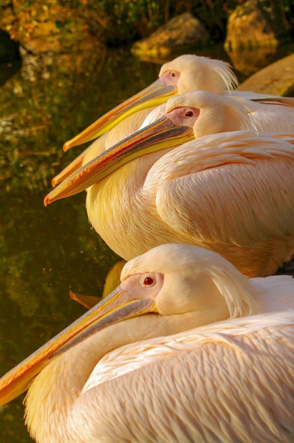 Árvore Rosy Pelicans no lago do parque no outono imagem de stock royalty free
