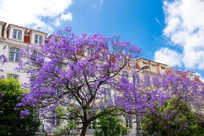Árvore roxa bonita de Mimosifolia do Jacaranda contra a construção branca e o céu azul, Faro, o Algarve Portugal imagem de stock