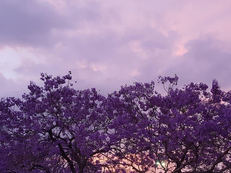 Árvore roxa bonita do Jacaranda no por do sol fotografia de stock