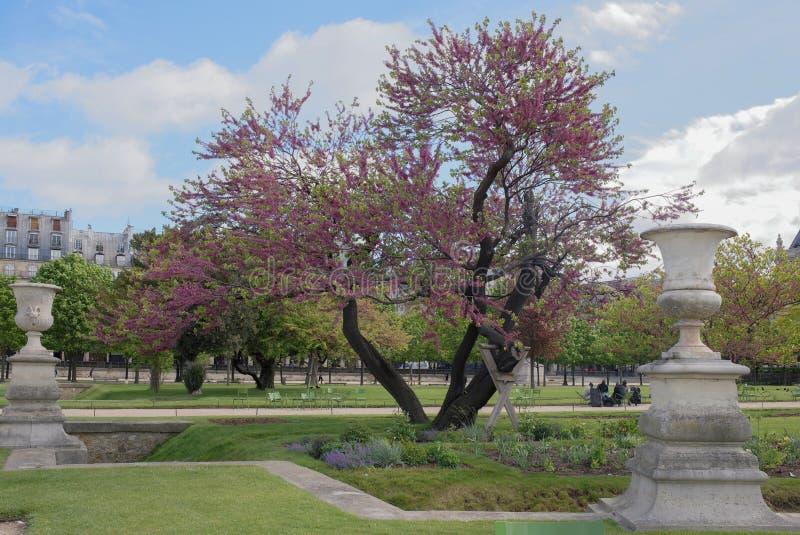 Árvore roxa europeia de florescência do Judas em Tuileries fotografia de stock