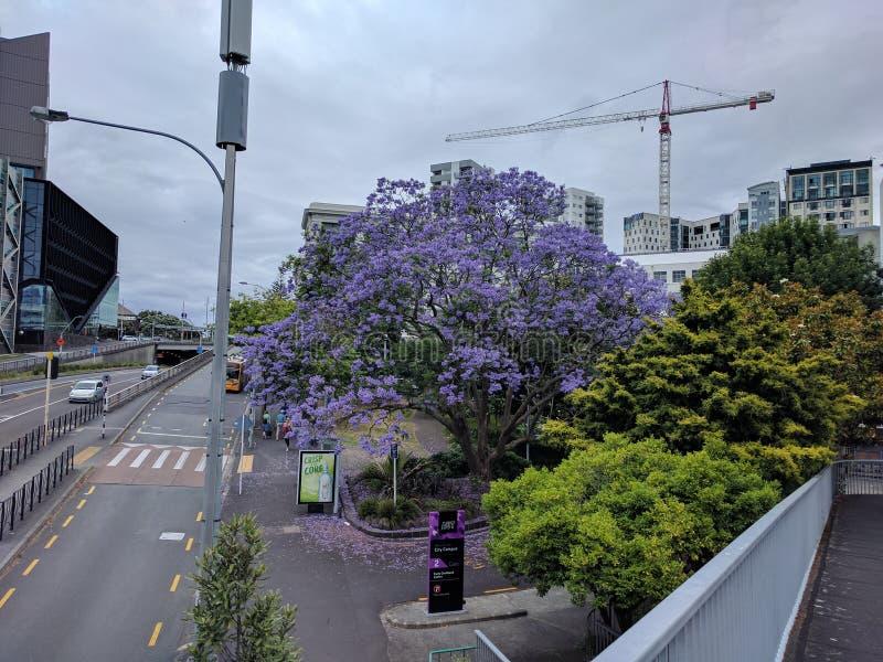 Árvore roxa na rua fotos de stock royalty free