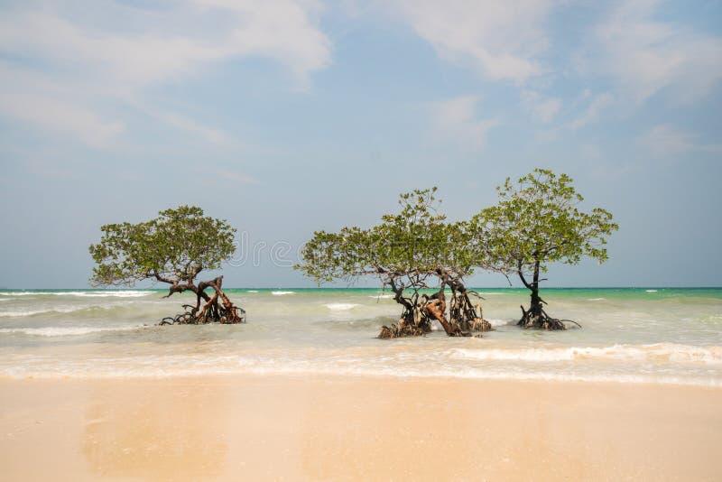 Árvore só dos manguezais na praia da beleza imagem de stock royalty free
