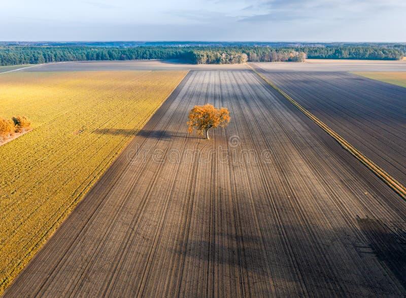 Árvore só em um campo vazio no outono, na floresta e no céu dramático, vista aérea imagens de stock