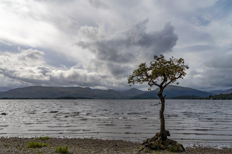 Árvore só Loch Lomond scotland foto de stock royalty free