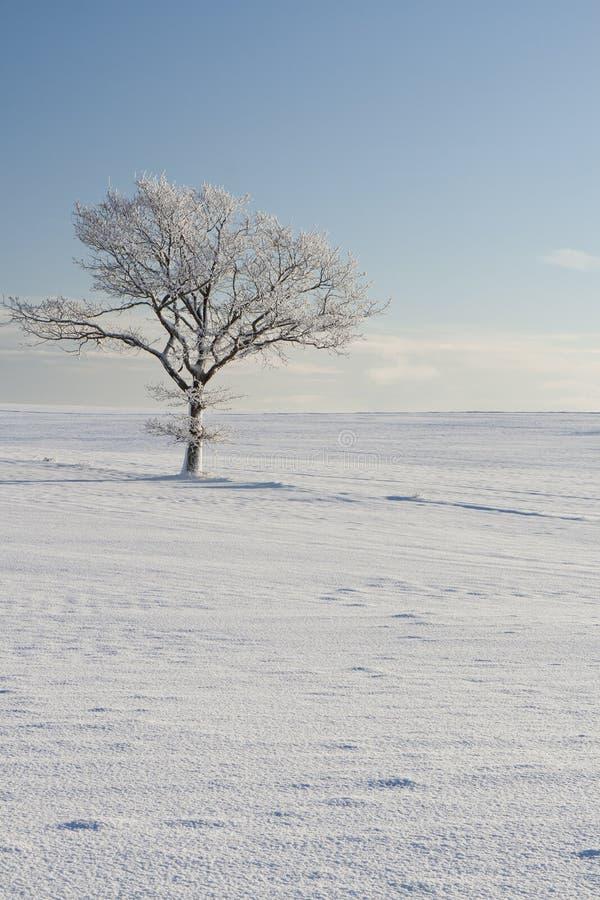 Árvore só na neve fotografia de stock royalty free