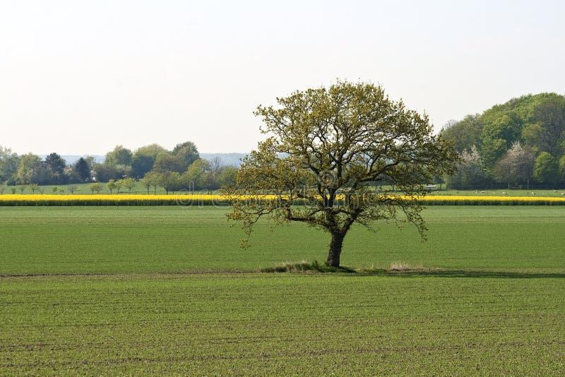 Árvore só no campo fotografia de stock