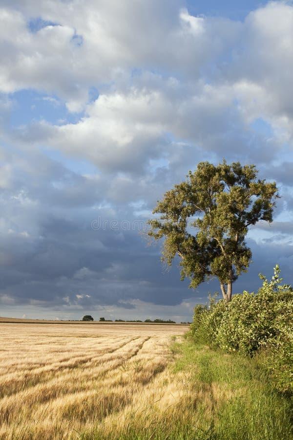 Árvore só no campo de milho imagens de stock