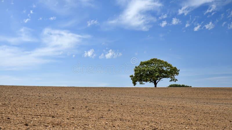Árvore só no campo em um dia de verão fotos de stock