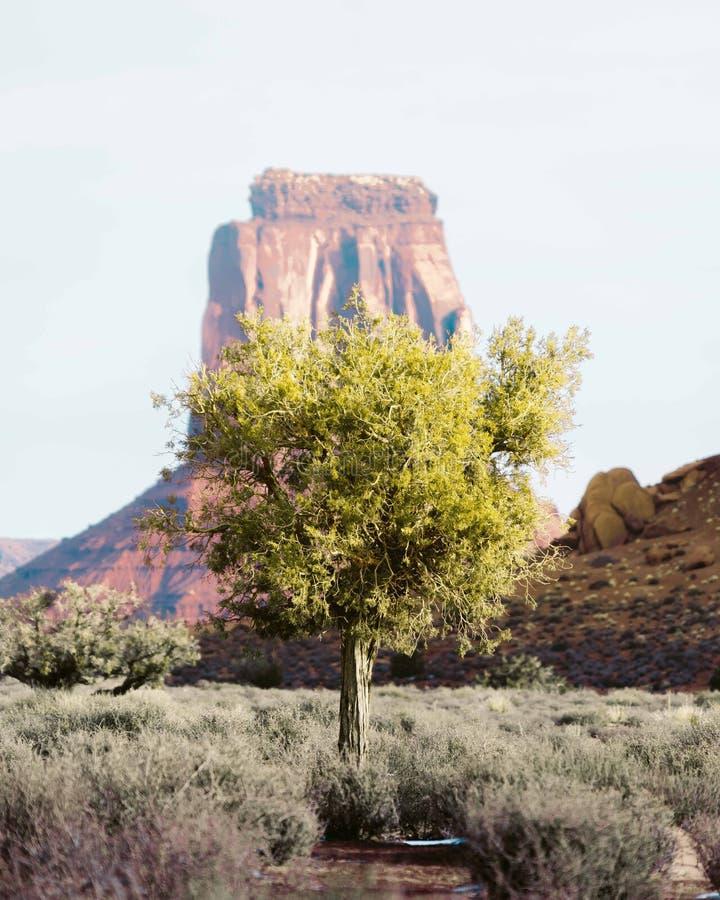 ?rvore s? no deserto de Grand Canyon com uma rocha alta no fundo imagens de stock royalty free