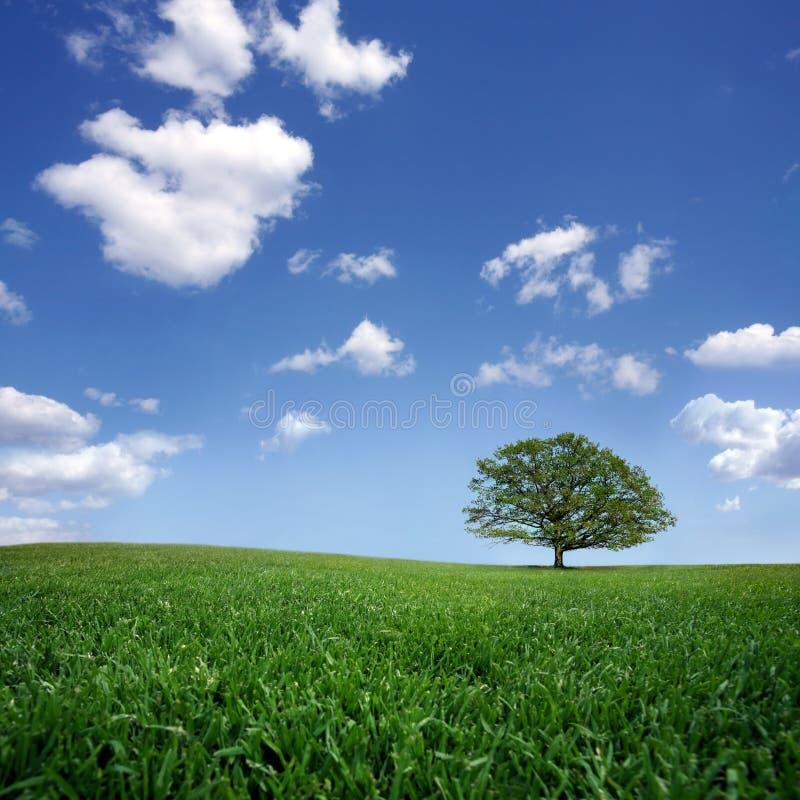 A árvore só no verde arquivou, o céu azul e o branco fotografia de stock