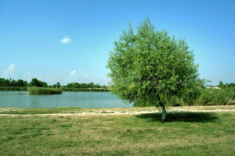 Árvore só pelo lago imagem de stock royalty free