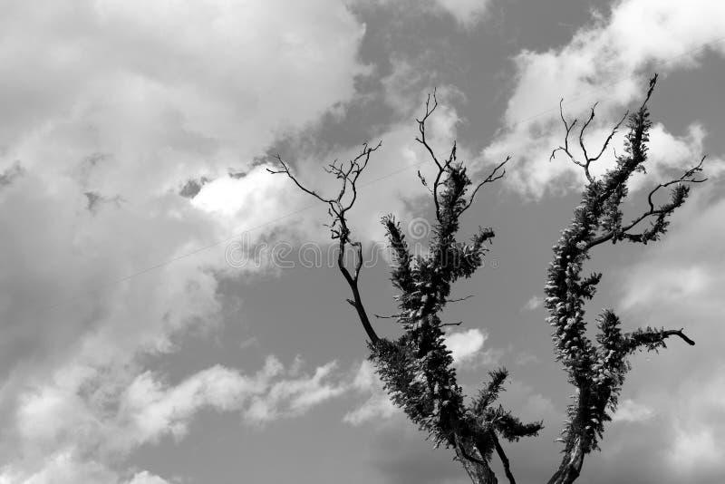 A árvore só peludo velha com ramos secos em montanhas Himalaias com céu nubla-se preto e branco, monocromático fotografia de stock