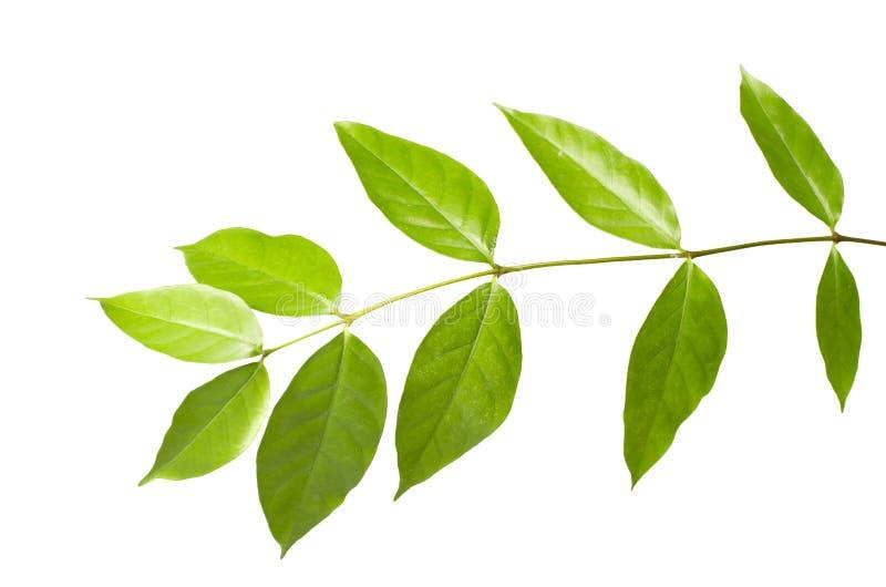 A árvore sae no fundo branco As folhas verdes isoladas com trajeto de grampeamento imagens de stock royalty free