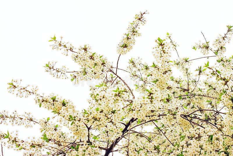 Árvore sakura da mola imagens de stock royalty free