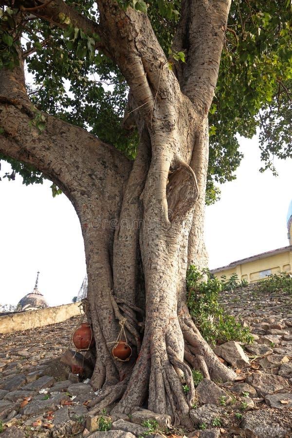 Árvore santamente dos antepassados imagens de stock royalty free