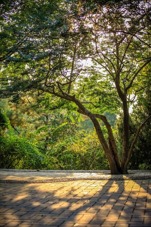 A árvore saudável molda sombras no final da luz solar da tarde em tijolos lisos em um parque no Pequim China fotografia de stock