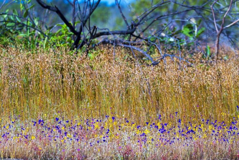 Árvore seca bonita da flor dos delphinoides do Utricularia fotos de stock royalty free