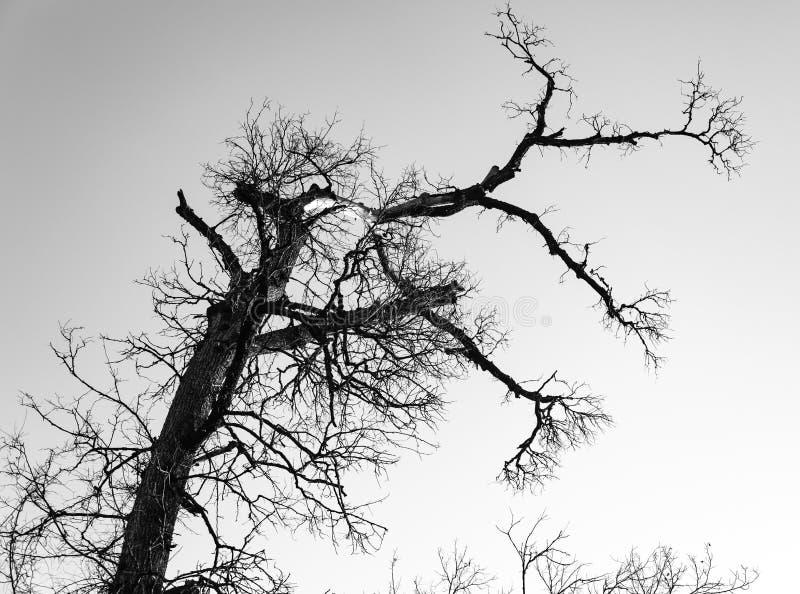 Árvore seca com o céu nebuloso na floresta fotografia de stock royalty free