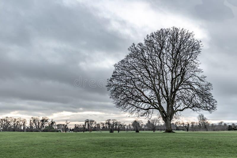 Árvore seca do inverno em um parque em Malahide fotos de stock royalty free