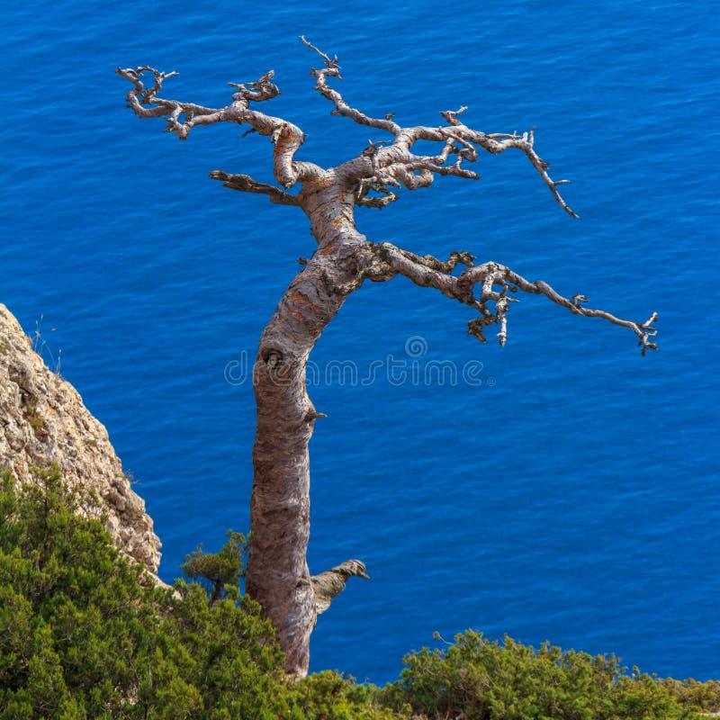 Árvore seca na inclinação do penhasco contra o mar azul foto de stock