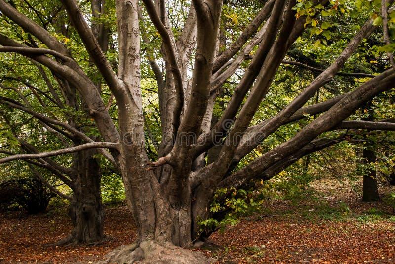Árvore seca resistente na inclinação da montanha fotos de stock royalty free