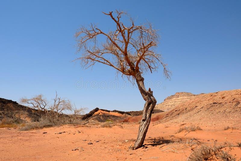 Árvore seca sozinha no deserto do Negev imagem de stock royalty free