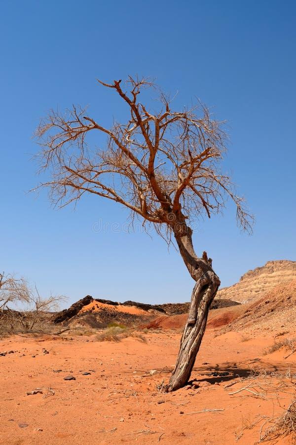 Árvore seca sozinha no deserto do Negev foto de stock royalty free