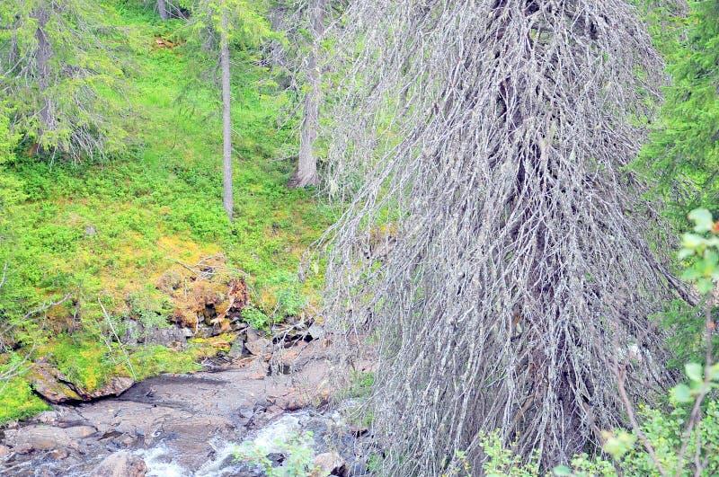 Árvore seca velha em um banco de rio pequeno fotos de stock