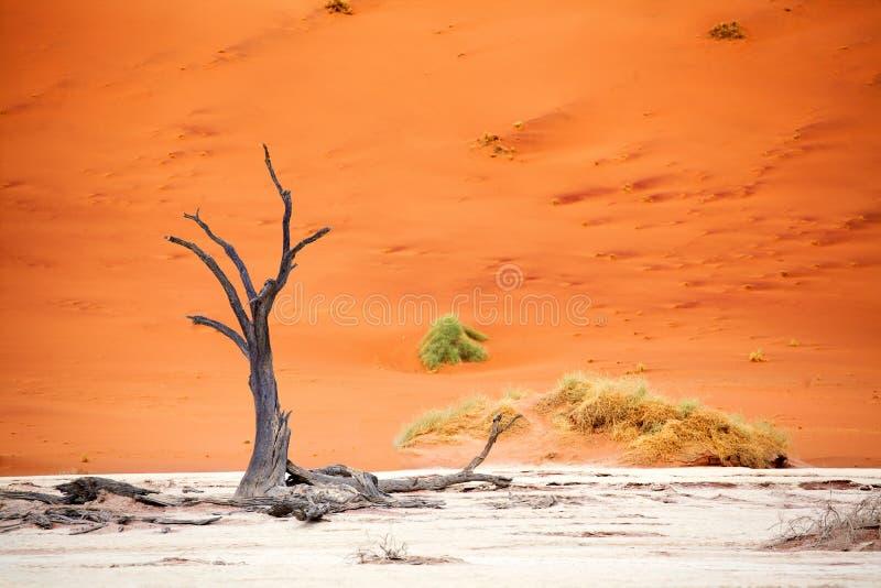 Árvore secada da acácia do camelo em dunas de areia alaranjadas e no fundo brilhante do céu azul, Namíbia, África meridional foto de stock royalty free