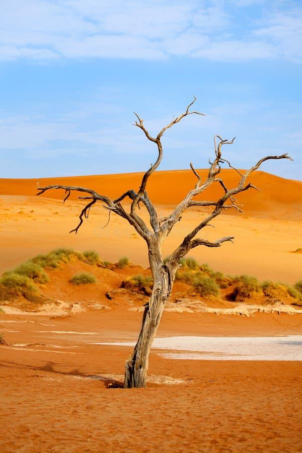 Árvore secada da acácia do camelo em dunas de areia alaranjadas e no fundo brilhante do céu azul, Namíbia, África meridional imagem de stock