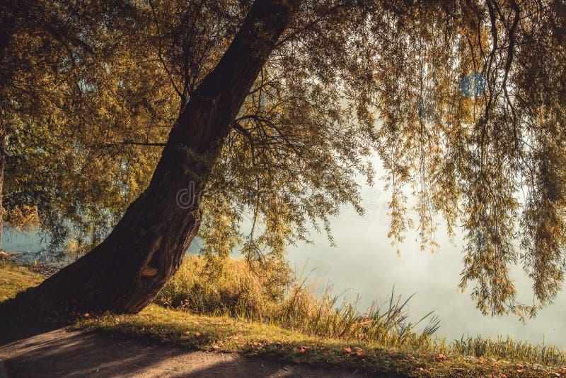 Árvore selvagem perto da água no outono imagens de stock