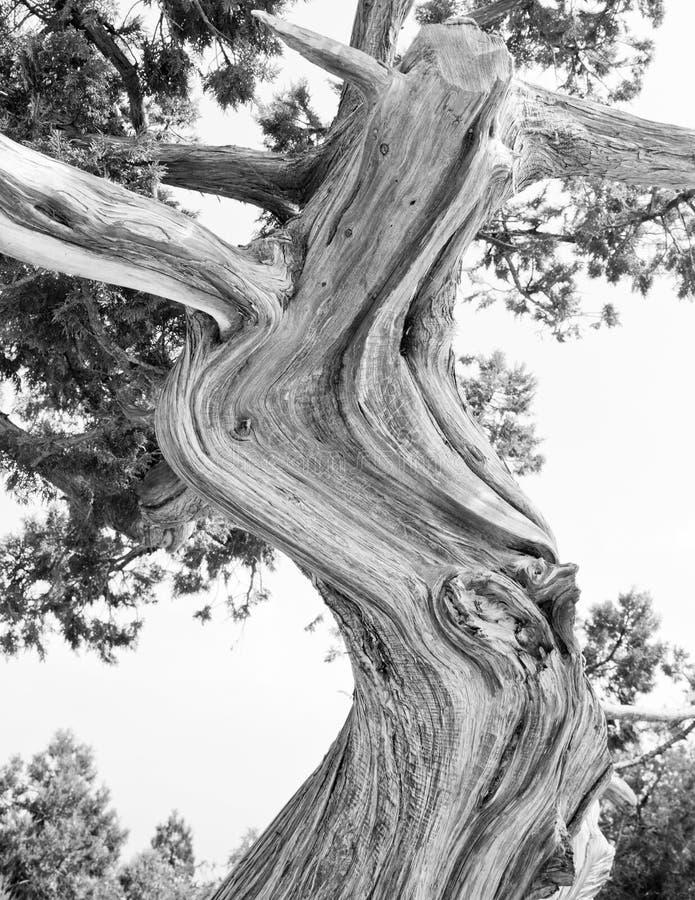 Árvore. Silhueta abstrata de ramos de pinheiro imagem de stock