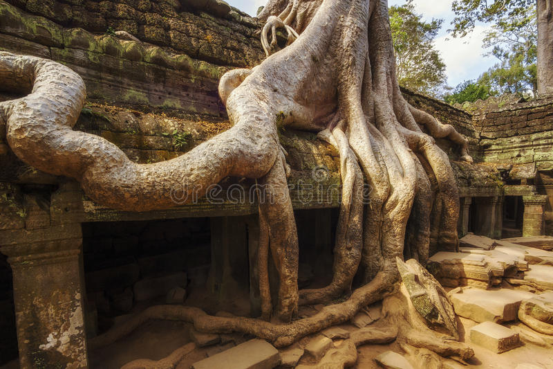 Árvore sobre ruínas do templo de Ta Prohm, Angkor, Siem Reap, Camboja imagem de stock