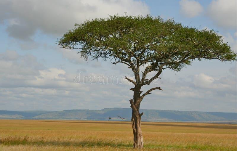 Árvore solitária com o pássaro solitário no savana fotografia de stock royalty free