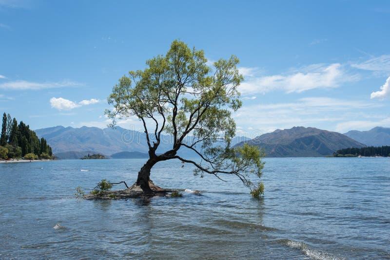 A árvore solitária a mais famosa que árvore de Wanaka em Wanaka, Otago, Nova Zelândia no verão fotografia de stock royalty free