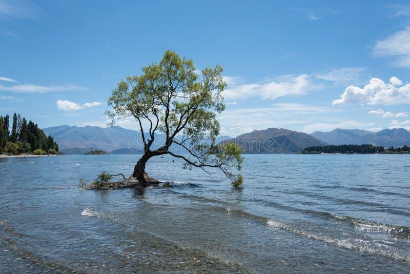 A árvore solitária a mais famosa que árvore de Wanaka em Wanaka, Otago, Nova Zelândia no verão fotos de stock royalty free