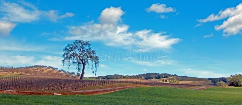 Árvore solitária no cenário da região vinícola de Paso Robles fotografia de stock