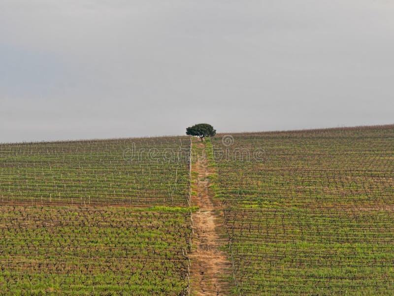 Árvore solitária no meio de um vinhedo imagem de stock