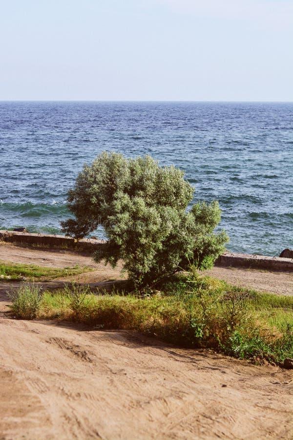 Árvore sorounded pela grama e pela areia empoeirada pela praia com o mar e pelo céu claro no fundo fotos de stock royalty free