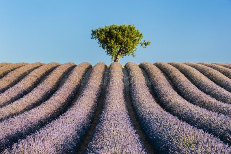 Árvore sozinha no campo da alfazema fotografia de stock royalty free