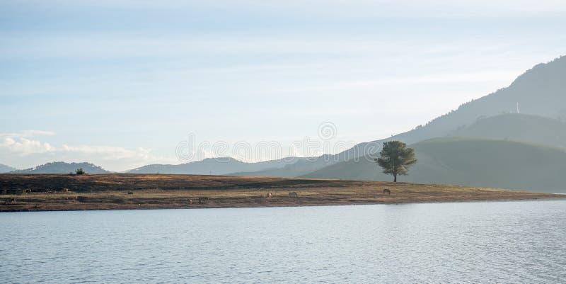 Árvore sozinha no lago, o wildhorse que come a cidade próxima de vidro de Dalat do lago - em LamDong- Vietname imagens de stock royalty free