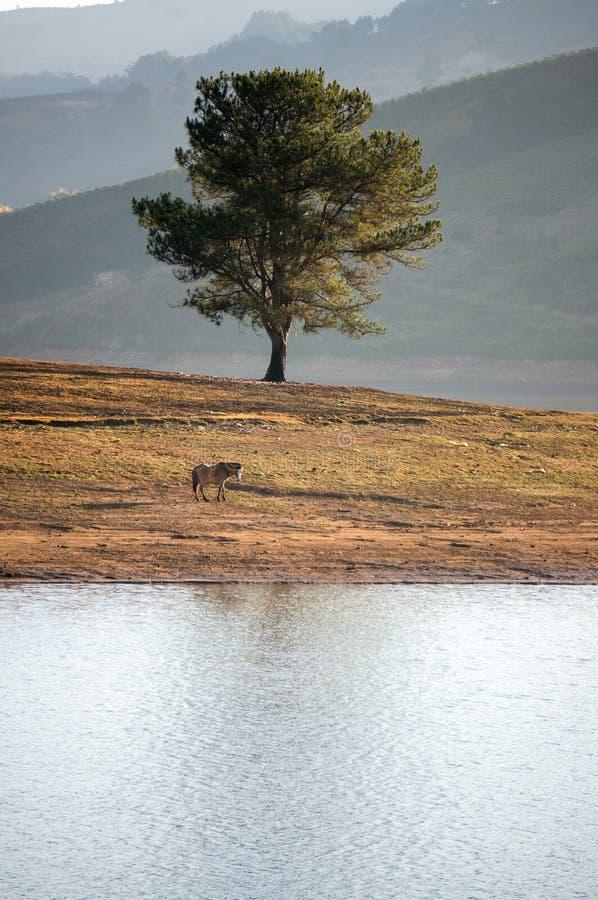 Árvore sozinha no lago, o wildhorse que come a cidade próxima de vidro de Dalat do lago - em LamDong- Vietname fotos de stock
