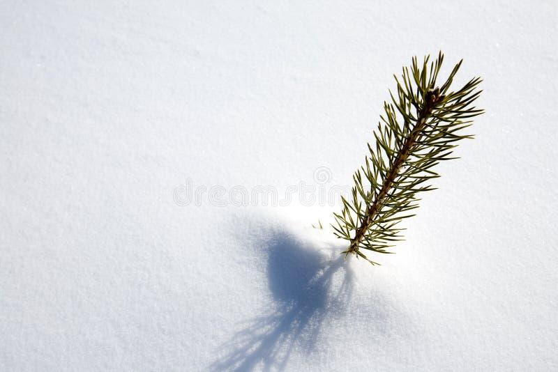 Árvore Spruce da sobrevivência fotografia de stock
